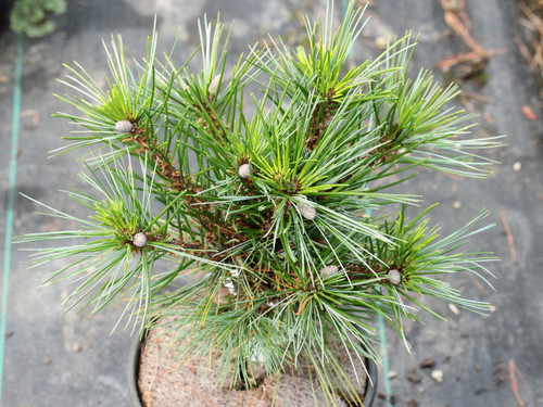 This slow-growing pine was found as a witch's broom. Light green to silver-blue color and soft texture characterize this new variety. Similar to 'Sea Urchin' but easier to grow!
