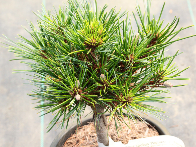 A dwarf pine with soft, short, blue-green needles  found as a witch's broom by Glen Lord.
