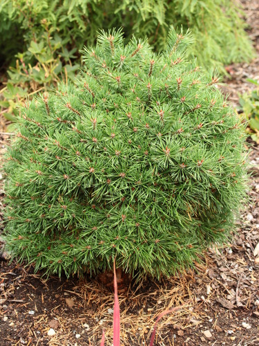 This super dense, shaggy globe. The distinctive feature of this cultivar is the resinous buds and branches. White pitch trickles down from the candles giving the twigs a striped appearance.