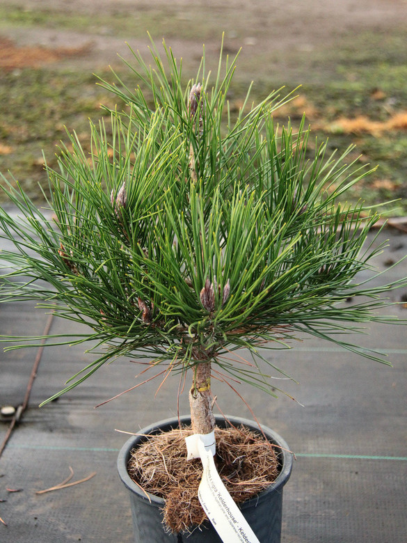 A dwarf pine that is a hybrid between the Austrian pine and Japanese red pine.