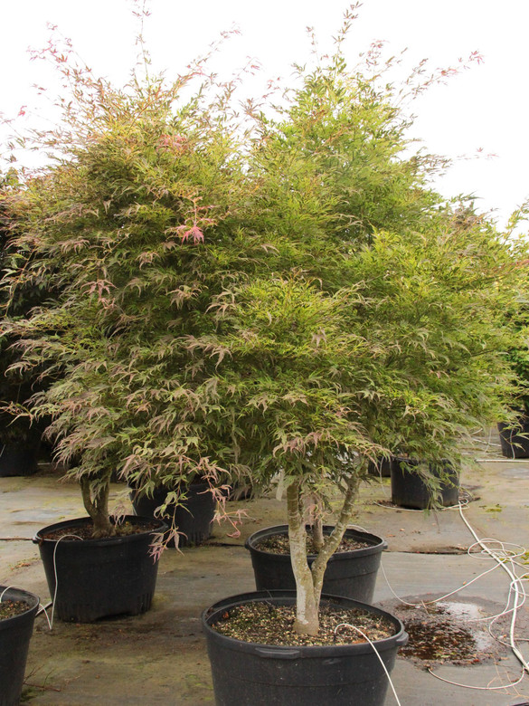 Spectacular leaf coloration distinguishes this upright, but broad, form of Japanese maple. Very deeply divided, narrow leaf lobes display reliable light yellow-green and purple-red variegation, producing a striking effect. In fall, leaves turn orange to red.