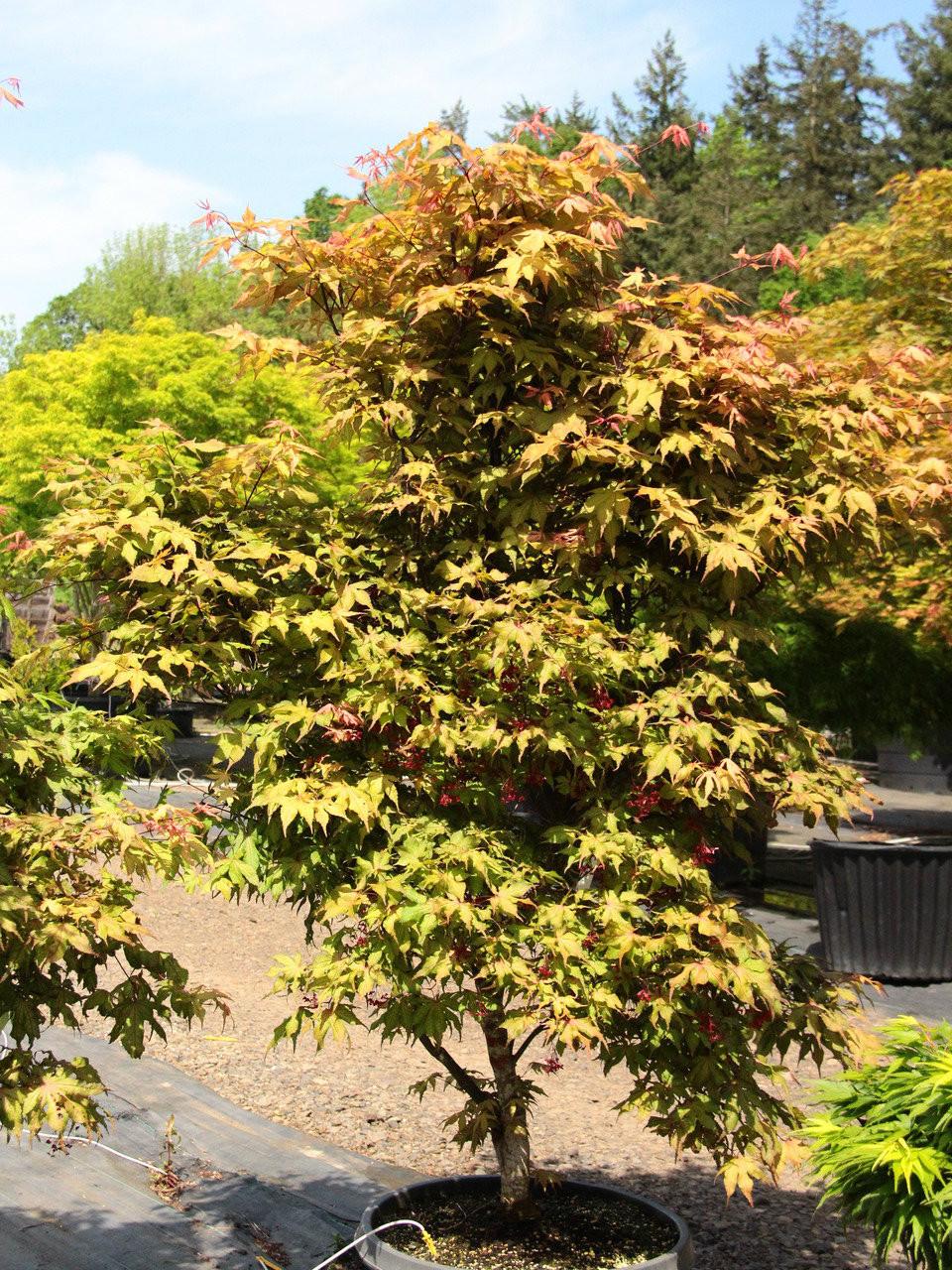Acer Palmatum Amber Ghost Specimen 1788