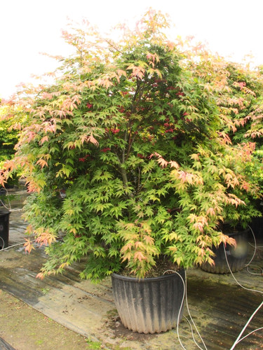 Beautiful, reticulated orange-colored leaves have deeper, reddish color toward the tips. This beautiful, elegant maple will form a small tree with a bushy canopy.