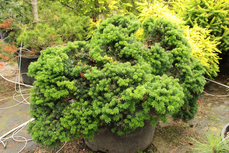 """Tiny and charming, this miniature Korean fir grows only about 1"""" a year and forms a flattened ball of about one foot in 10 years. An attractive addition to a rock garden or trough."""