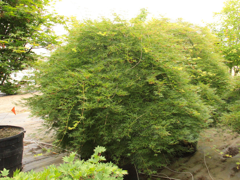 A finely-dissected green laceleaf with lighter green new growth. Fall color is red on this mounding/weeping Japanese maple.