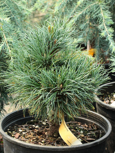 A dwarf, low mounding pine with soft blue-green foliage.