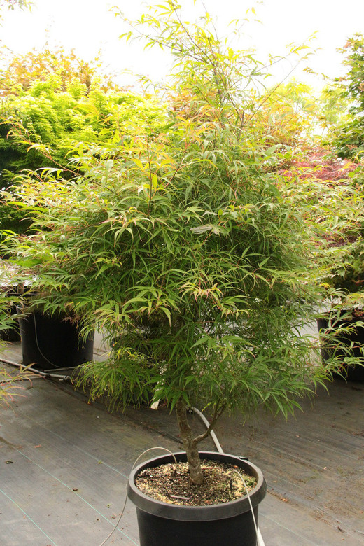 The leaf lobes of this slow-growing, upright, green Japanese maple vary in width from narrow and strap-like to hardly more than a leaf vein, which produces an elegant, soft look.