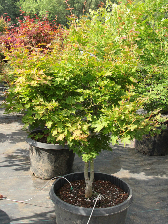 This new, shrub-like cultivar of Japanese maple was a seedling found growing wild in Japan. Its small, glossy leaves have blunt tips and display attractive seasonal changes: pink-red with light venation in spring; dark green in summer; and golden-yellow in fall.