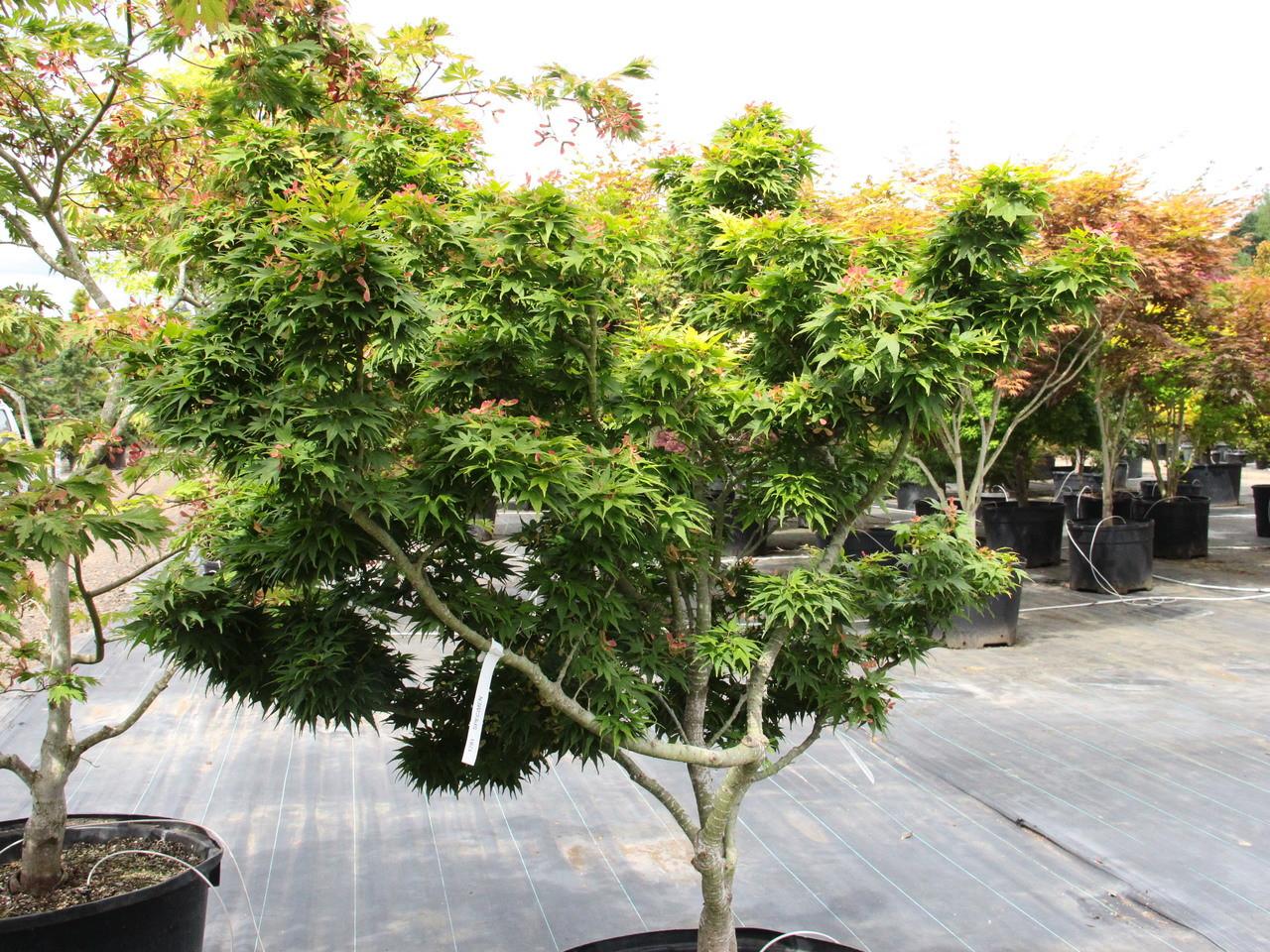 Acer Palmatum Mikawa Yatsubusa Specimen 1781