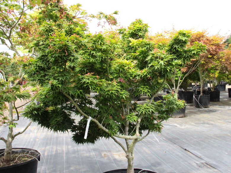 A truly unique dwarf Japanese maple, this cultivar produces layers of small leaves that overlap each other because of close leaf spacing and short petioles. The effect is striking: a very dense, compact plant with a diverse range of leaf size and color.