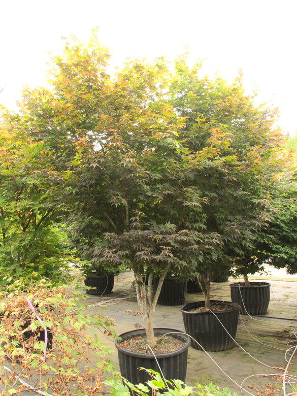 """The name of this tall, shrubby Japanese maple means """"gold calico cloth,"""" a reference to the diversity of both leaf color and shape. Spring leaves display different intensities of red with contrasting green venation. In summer, green leaves have bronze highlights and in fall, the foliage ranges from yellow and orange to crimson. The medium size leaves have unusual forms too: each elongated lobe tapers to a narrow point and curls upward to form a rounded trough."""