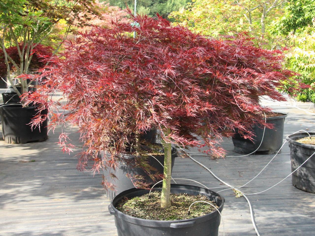 Acer Palmatum Red Dragon 24 Std Specimen 1810