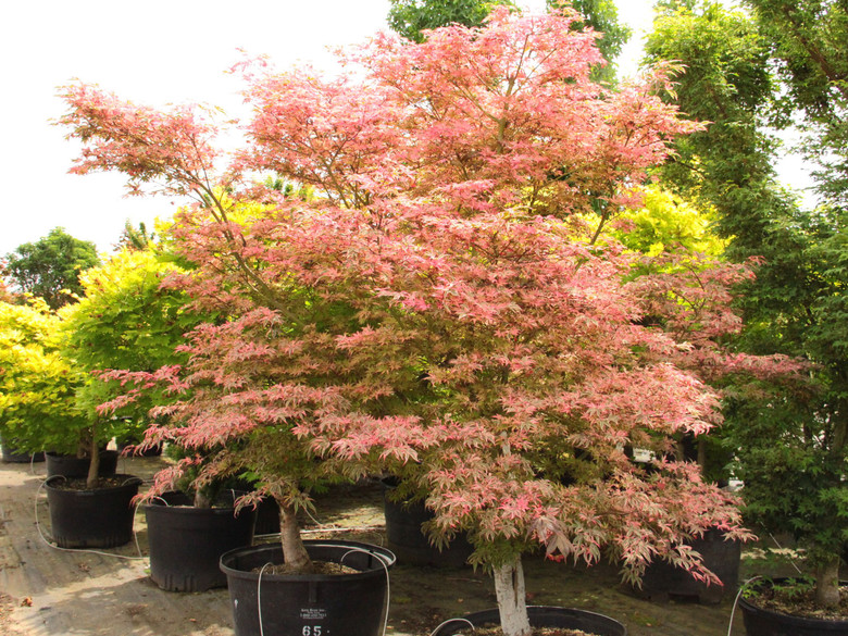 A variegated and patented Japanese maple also known as 'Shirazz' has leaves displaying pinks, greens, and white. New growth is pink, fall color is scarlet. It was introduced by Duncan and Davies Nursery in New Zealand.