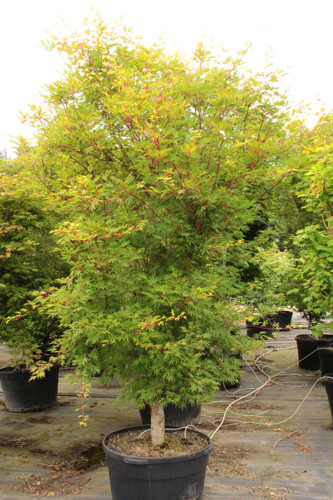 This maple has elongated leaves with narrow lobes and a delicate, hand-like appearance. The unique structure of the foliage makes this new variety with arching branches a very unique maple!