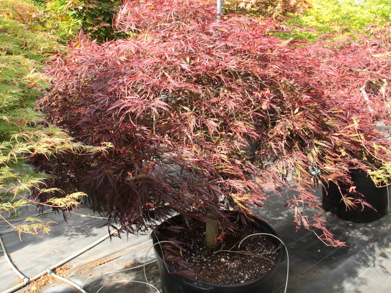 """This laceleaf Japanese maple, named """"tribute to the mountain,"""" dates to 1710, but its fine qualities continue to recommend it. Hardy and strongly cascading, it has deep red spring foliage that darkens to purple-red, which holds well through summer."""