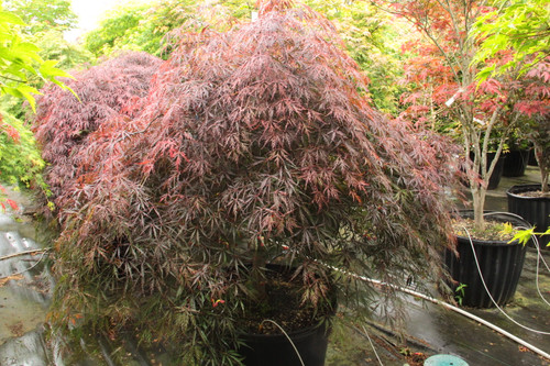 "This laceleaf Japanese maple, named ""tribute to the mountain,"" dates to 1710, but its fine qualities continue to recommend it. Hardy and strongly cascading, it has deep red spring foliage that darkens to purple-red, which holds well through summer."