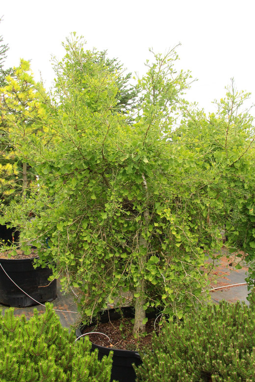A very curious new small tree, this weeping Ginkgo has an upright leader and horizontal-to-pendulous side branches. Leaves of the slow-growing deciduous conifer vary in size, shape and thickness and some display lime-green variegation.