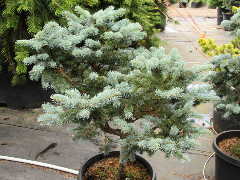 Cream-colored new growth makes this upright, pyramidal spruce colorful in the spring, while rich, blue-green foliage in summer and winter give it color the rest of the year. A fairly slow-growing, beautiful selection from Europe!