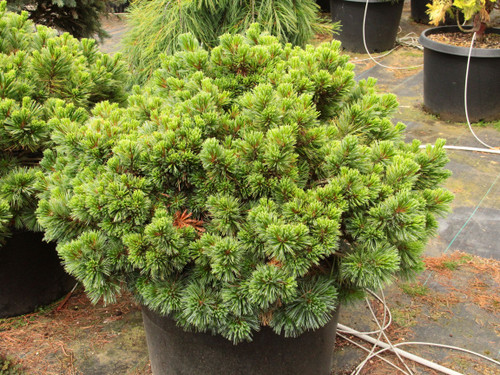 Lush, silver-green needles of uniform length decorate the short branches of this dwarf pine. A nice slow growth rate and beautiful color scheme make it a choice small conifer.