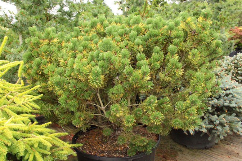 With winter's short days and cold temperatures, the color of this dwarf pine changes from a yellow-green color to a vibrant, amber gold color. The contrast is remarkable, and the color is deeper than that of many other winter-gold pines, almost orange.