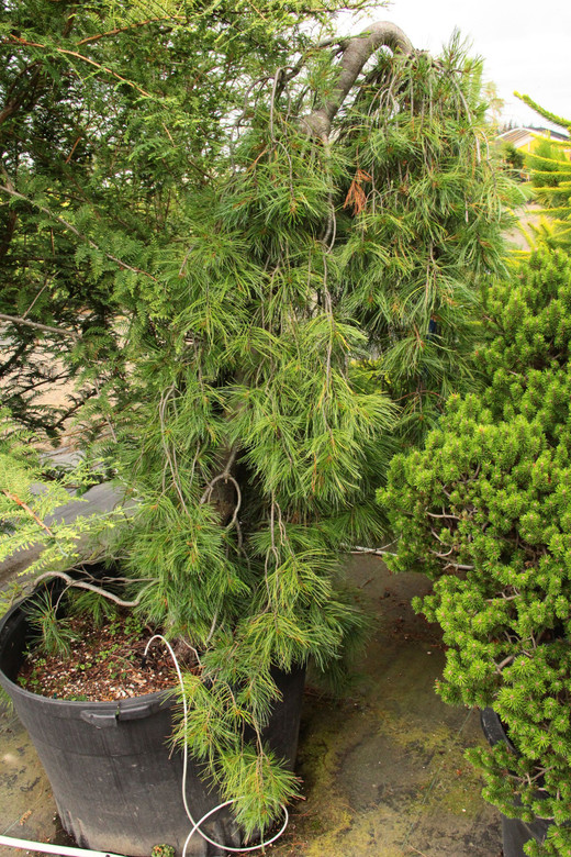 Long, blue-green needles cascade from this narrow, weeping conifer. Each branch gracefully droops down, creating a very slender tree. This plant was found as a seedling of 'Pendula'