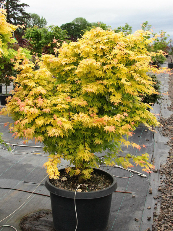 Acer palmatum 'Orange Dream' Specimen 1785