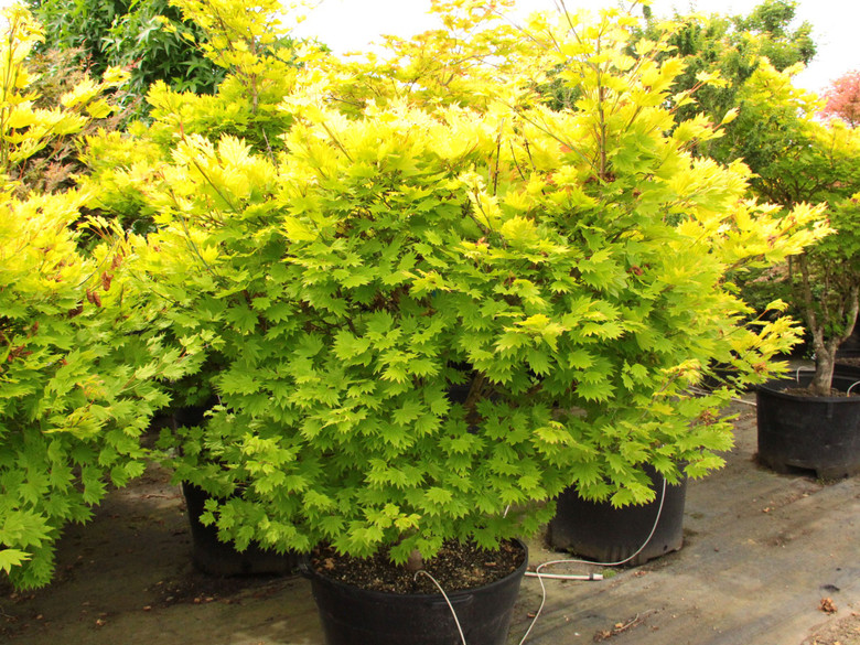 The foliage of this prized Full Moon maple virtually glows throughout the season. Especially in a site with filtered light, the fan-shaped leaves emerge bright yellow in spring, then gradually soften to yellow-green, a color that holds all summer.