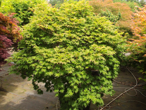 This cute, dwarf maple has dainty leaves with good coloration year-round. In spring, they have an orange-and-pink color with an apricot-tinged green in summer. One of the few choice slow-growing maple selections and quite rare.