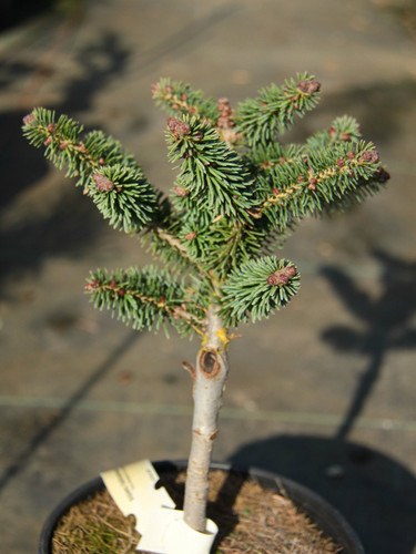This miniature fir was found as a witch's broom by Josef Braeu. It has short, light-green needles and a globose habit.