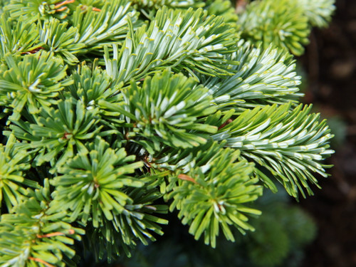 This compact fir displays silvery undersides on each needle with light-green surfaces, creating an outstanding contrast.