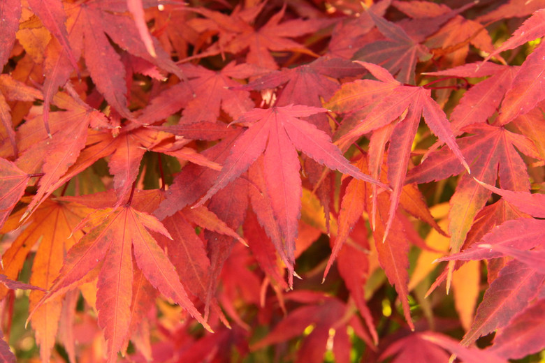 Selected for its rough, corky bark, this unique, green leaf Japanese maple gradually develops creases, cracks and other irregularities as it matures. The vigorous, upright tree makes an interesting bonsai specimen. Small to medium green leaves change to red in autumn