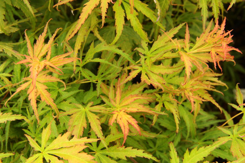 Acer palmatum 'Frilly Willy' _ Japanese Maple _