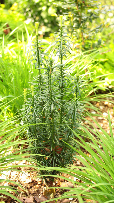 A dense upright conifer with long, dark-green foliage and an upright vase shape. Can be used for formal hedge plantings or as an accent plant.