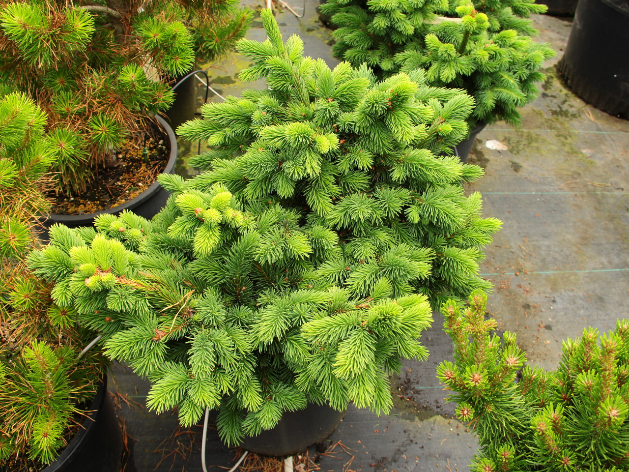 Picea Abies Exot Norway Spruce