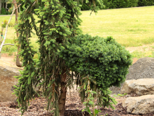 This slow-growing spruce was found as a witch's broom on the pendulous variety 'Pustertal' by Larry Stanley of Stanley &Sons Nursery. Short, matted foliage has a truly fascinating texture on this unique, miniature conifer.