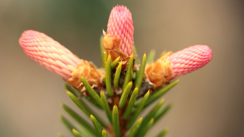 This unique spruce is similar to 'Rubra Spicata', 'Rydal', and 'Cruenta' in that it has colorful new growth in spring. However, rather than a crimson red color, 'Rose Ear' is more of a pastel pink color! A truly unique variety that is very rare!