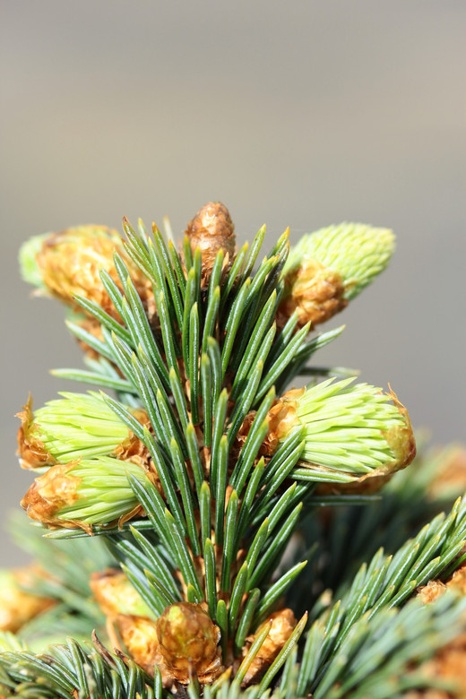 This slow-growing spruce has very short needles and profuse buds on a rather tight growing bun. It was discovered by Jerry Morris as a witch's broom in Arizona.