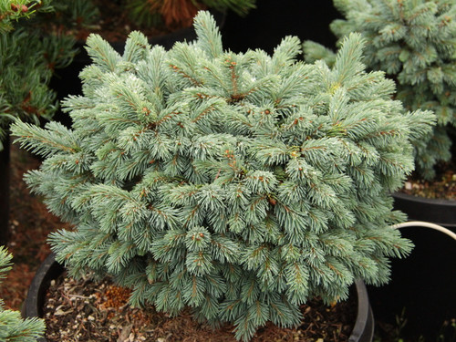 This slow-growing spruce has very short needles and profuse buds on a rather tight growing bun.