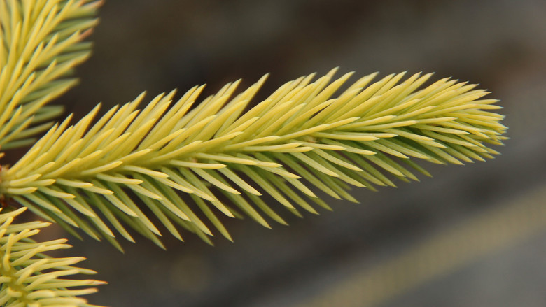This slow-growing spruce was found by Lalo Villarreal in one of his fields of Picea pungens. It has a light, golden-yellow tip to the blue-green needles. A nice slow-growing, pyramidal variety!