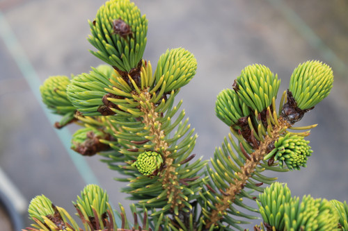 This uncommon species has extraordinarily thick, pointed needles and large, rounded resinous orange-brown buds. It is unlike any other spruce and truly unique!