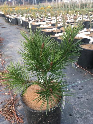 Pinus bungeana 'Compacta' _ Lacebark Pine _