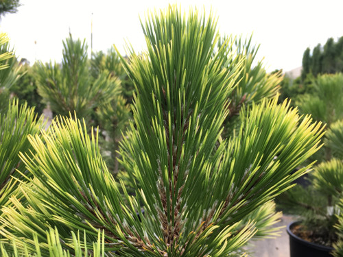 A slightly compact pine with dark green needles and a brightly colored yellow new growth in spring.