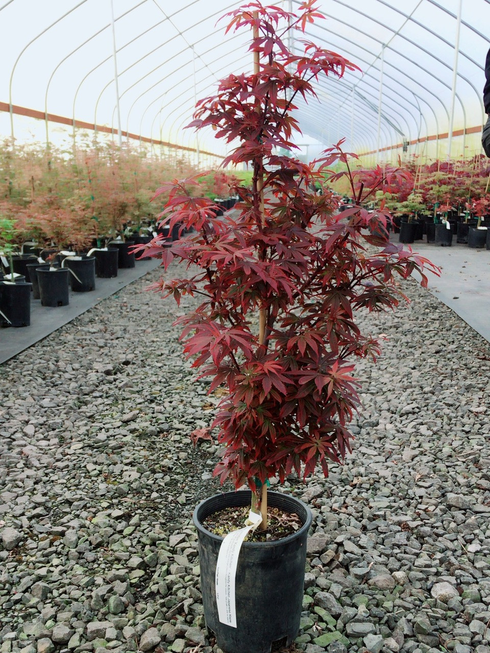 Acer Palmatum Kandy Kitchen Japanese Maple Dwarf
