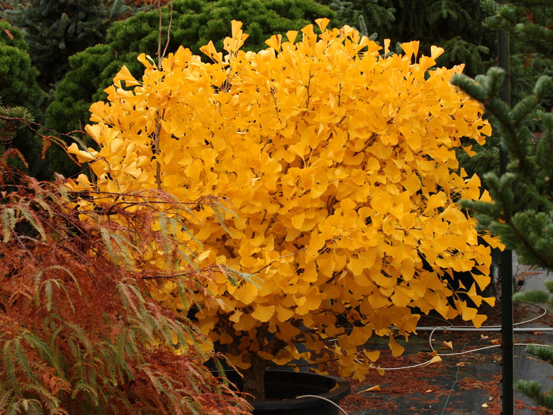 A rounded, dwarf form of the ancient Ginkgo. This cultivar has a rounded crown with dense, slow growth. The leaves turn a beautiful butter-yellow in the fall.