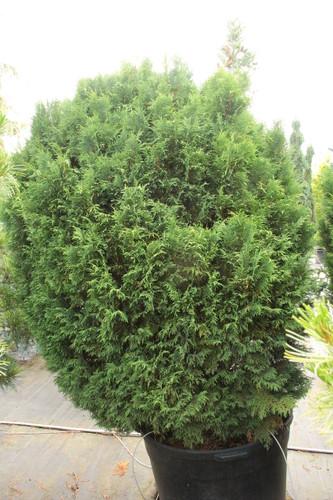 Cupressus nootkatensis 'Glauca Compacta' _ Alaskan Cedar _