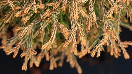 Thuja occidentalis 'Golden Tuffet' _ Eastern Arbrovitae _