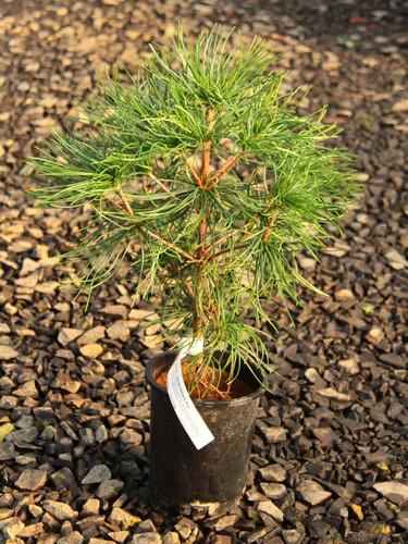 Sciadopitys verticillata _ Japanese Umbrella Pine _