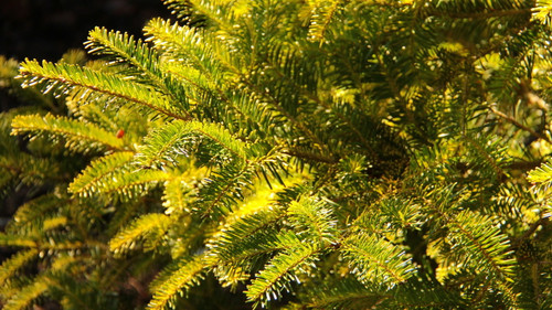 The Sicilian Fir is native only to the island of Sicily. It is critically endangered due to its small habitat. This unique cultivar has a bright gold color that makes this rare conifer even more special. Prefers some shade to prevent burning.