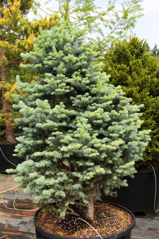 Powder blue needles decorate the stems of this sub-alpine fir and give it a very soft appearance. Dense branching creates a tight conical form. An excellent option for rock gardens or other settings where a mountainous, alpine aesthetic is desired.