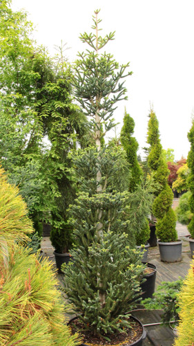 Each branch ascends abruptly upward on this columnar, fir. Its stiff, silver-blue needles make it even more of a fascinating plant.